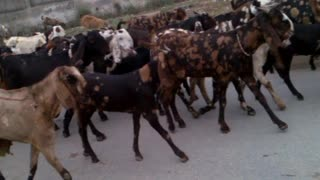 Goats walking on the road  - Video