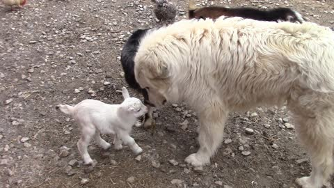 Baby goat meets big dogs