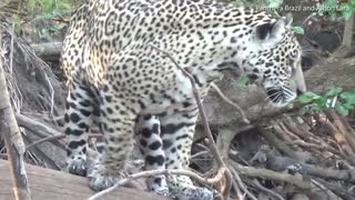 Scared Cat.!! Jaguar Get Chased Out By Giant Otter