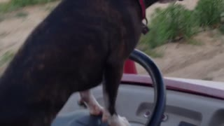 Boston Terrier drives Kawasaki - Video