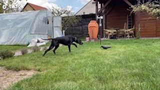 Dog is Unsure About Fake Crow