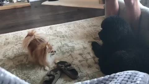 Pomeranian wants to play until giant puppy gets up!