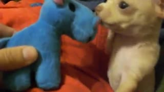 Curious Chihuahua Puppy Befriends A Squeaky Blue Hippo Toy