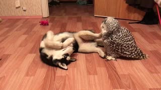 Husky and owl chill out together - Video