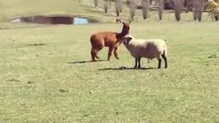 Alpaca vs sheep fight