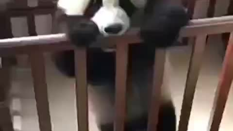 Baby Panda tries to escape the crib
