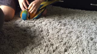 Roku the Macaw Plays Like a Puppy - Video