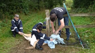 Fallow Deer Rescued from fence at High Hurstwood - Video
