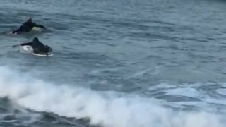Full black wetsuit yellow surfboard slowly climbs into ocean