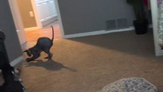 Sphynx having fun - Video