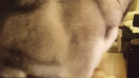 Husky tries to get on couch and falls off