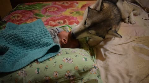 Husky helps to take care of the baby