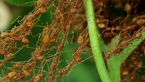 check how ants work in groups to move the food