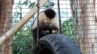 White Faced Capuchin at Poggi's Animal House - Video