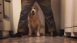 Golden Retriever practices newly learned trick - Video