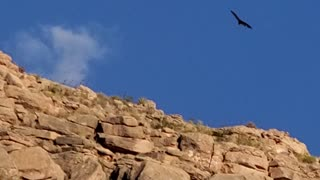 Black Vulture in Grand Canyon West