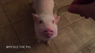 Pickle the Mini Pig loves apple slices - Video