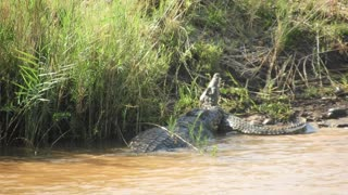Crocodile Showdown - Video