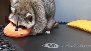 Raccoon finds someone who plays tricks on Raccoon.