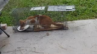 How to Trap a Cat  - Video