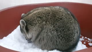 Raccoon loves snow so much that he's playing with his hands digging.