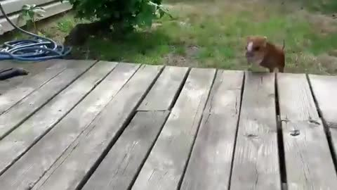 Piglet sprints in from yard at the sound of food