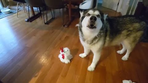 Alaskan Malamute definitely not a fan of musical holiday toy