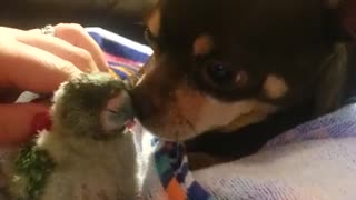 Adorable friendship between dog and baby parrot - Video