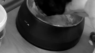Black white dog eats yogurt from a bowl