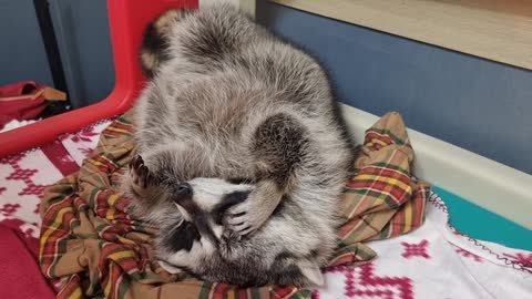Raccoon lies down before going to bed, scratching his itchy head with his hands like a human being.