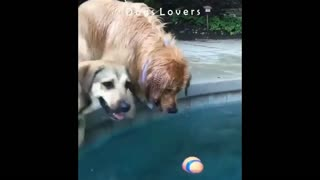 Two Dogs Trying To Grab The Ball from The Pool.