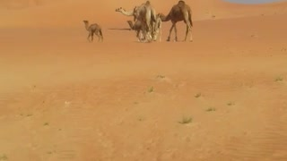Camel in uae  - Video