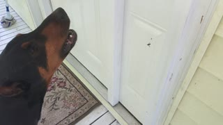 Doberman furious at spider for catching fly in web - Video