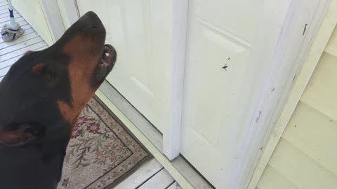 Doberman Does Not Approve With This Spider's Actions