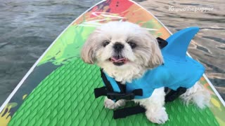 White dog in surfboard sticking tongue out