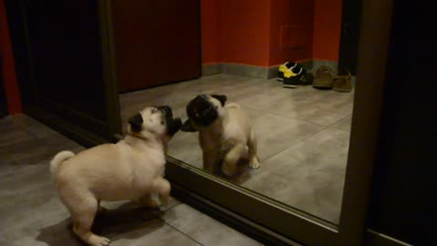 Pug puppy desperately wants to play with reflection