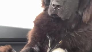 Big dog thinks getting pets are more important than safe driving