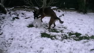 Dog learns how to build a snowman