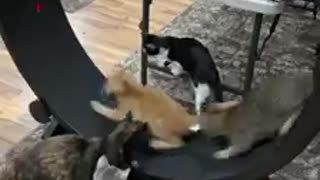 Excited kittens run around giant hamster wheel