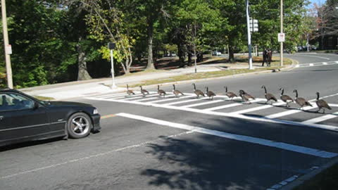 Smart geese know how to cross the street