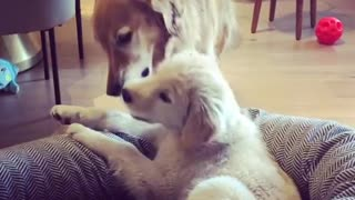 Golden Retriever & puppy learn how to share their toys