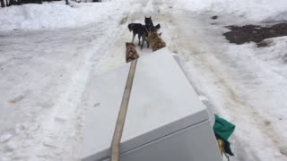 Sled Dogs Carry Chest Freezer - Video