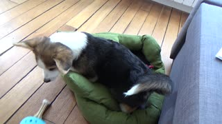 corgi makes his bed  - Video