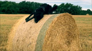 Dog Rolls in Hay Fail - Video