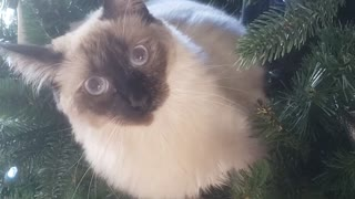 Rib-tickling video of chubby cat getting stuck in the Christmas tree
