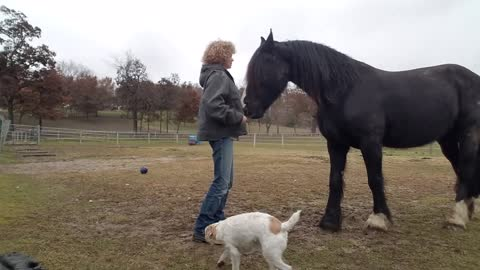 Beautiful and smart horse does Spanish Walk - sort of