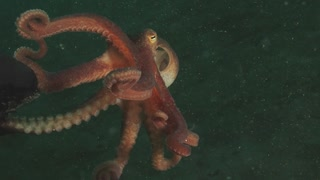 Scuba Diver Lends A Playing Hand To Curious Tiny Octopus