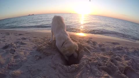 Golden Retriever Puppy gets upset when a camera goes in his hole