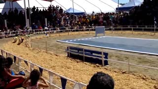 Crowd goes wild for adorable racing pigs