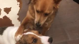 Brown dog answers whos your best friend question by putting arm over other dog - Video